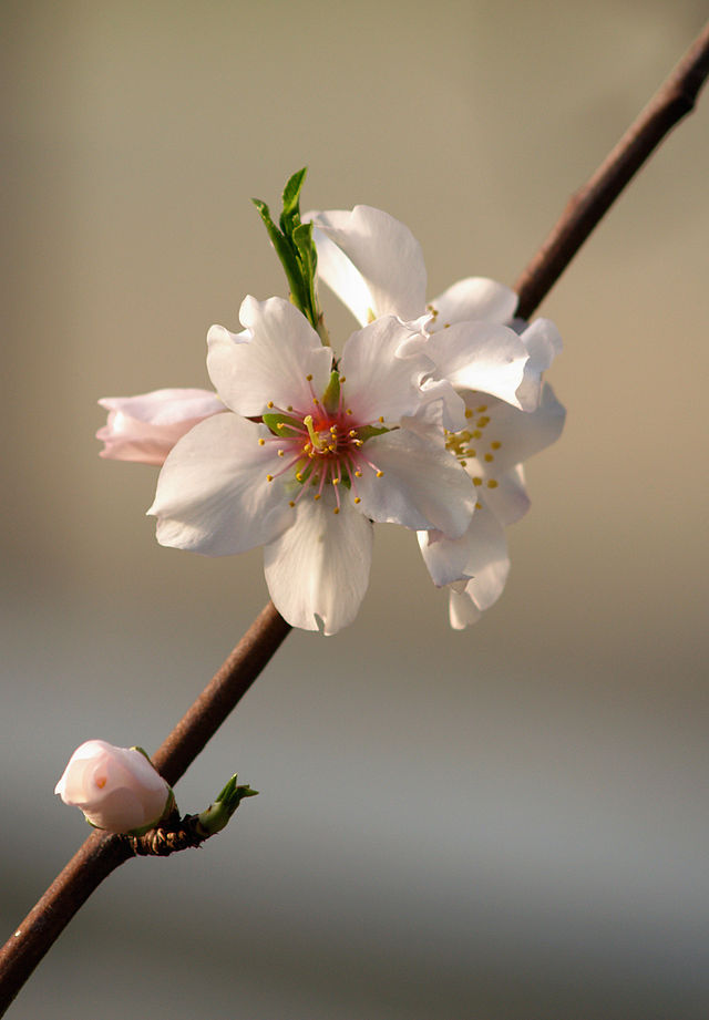 Prunus dulcis (almond) LC0009by I, JörgHempel http://commons.wikimedia.org/wiki/File:Prunus_dulcis_LC0009.jpg#/media/File:Prunus_dulcis_LC0009.jpg