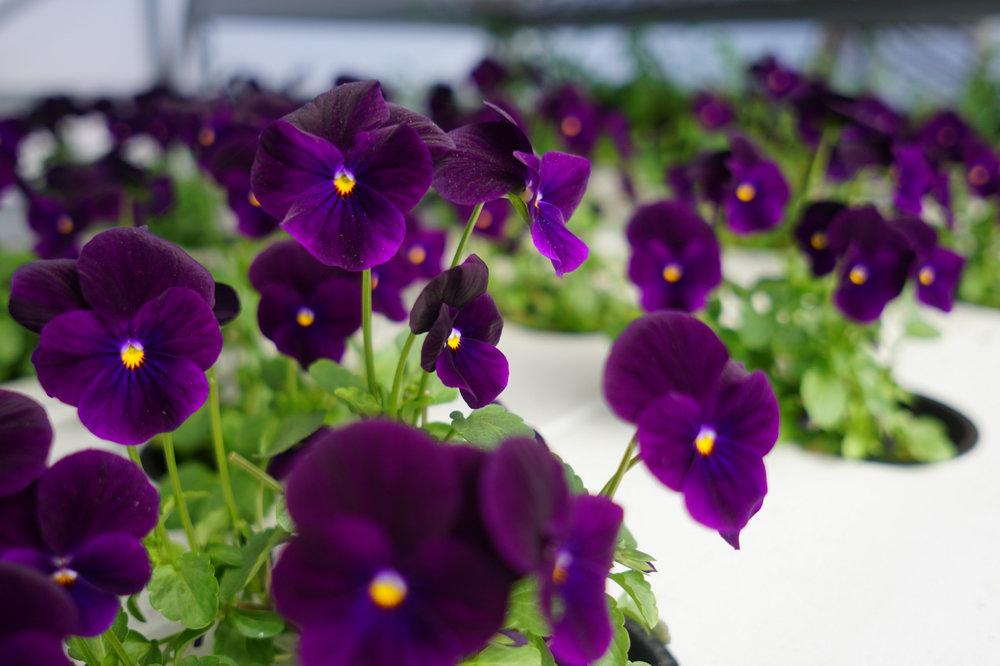 Violas in NFT.