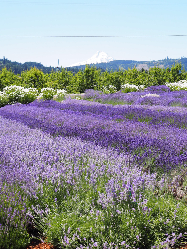View from Hood River Lavender Farm