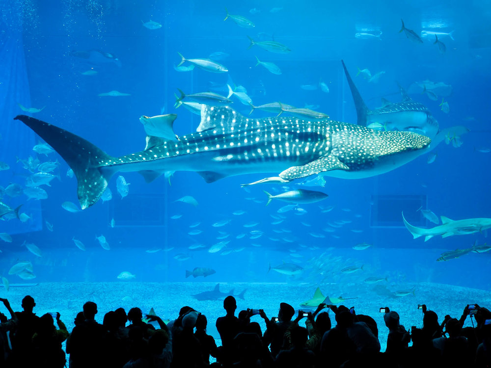 Large whale shark in tank at Okinawa Churaumi Aquarium.