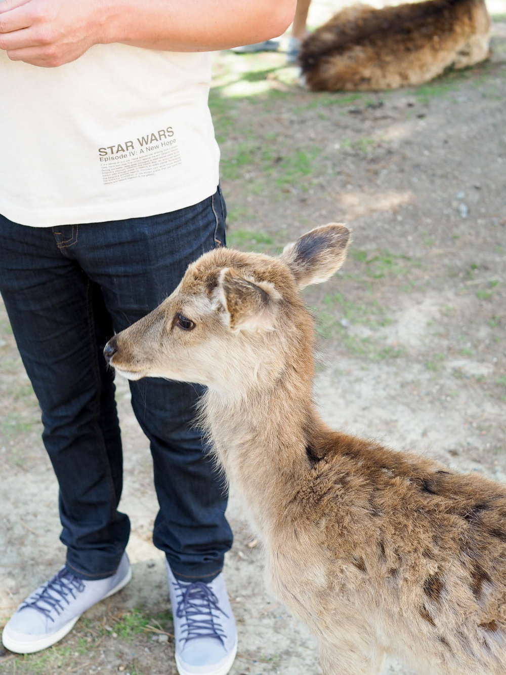 Friendly, free-roaming deer at Nara Park in Nara, Japan.