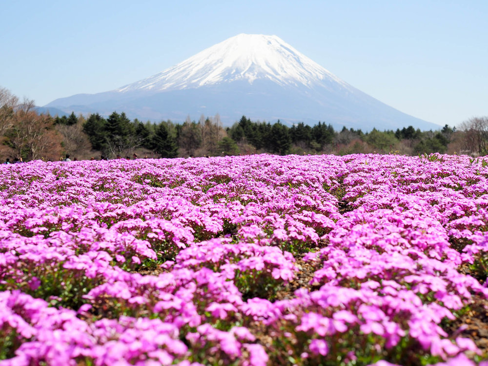 Mt. Fuji in Japan, surrounded by pink flowers during the Shibazakura Festival.
