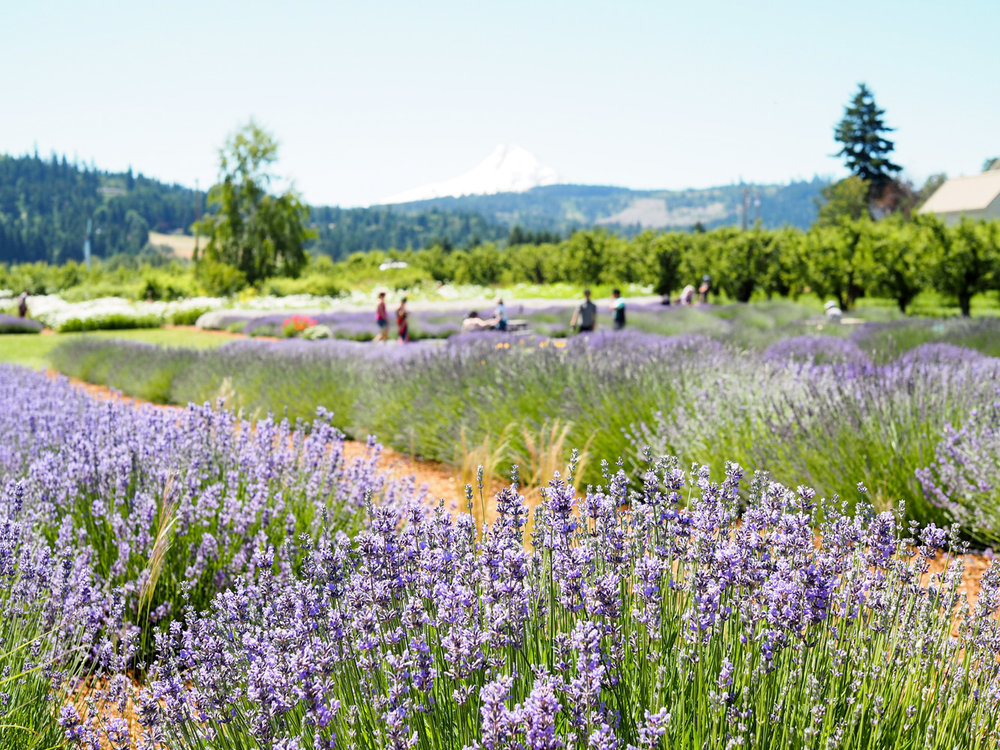 View of Mt Hood from Hood River Lavender Farm