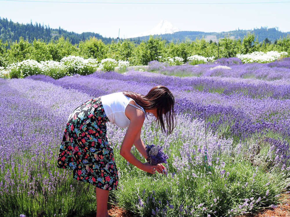 Cutting lavender at Hood River Lavender Farm, a day trip from Portland