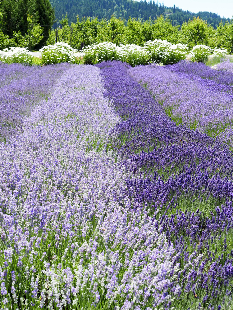 Shades of purple at the Hood River Lavender Farm