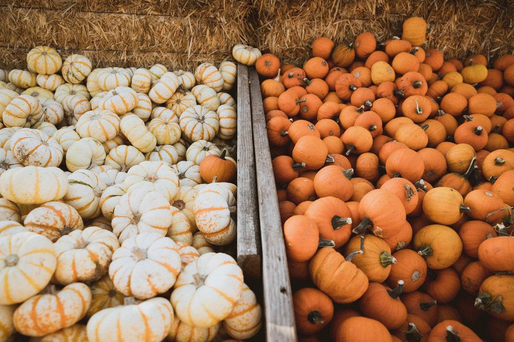 Small pumpkins at Arata's Pumpkin Farm in Half Moon Bay