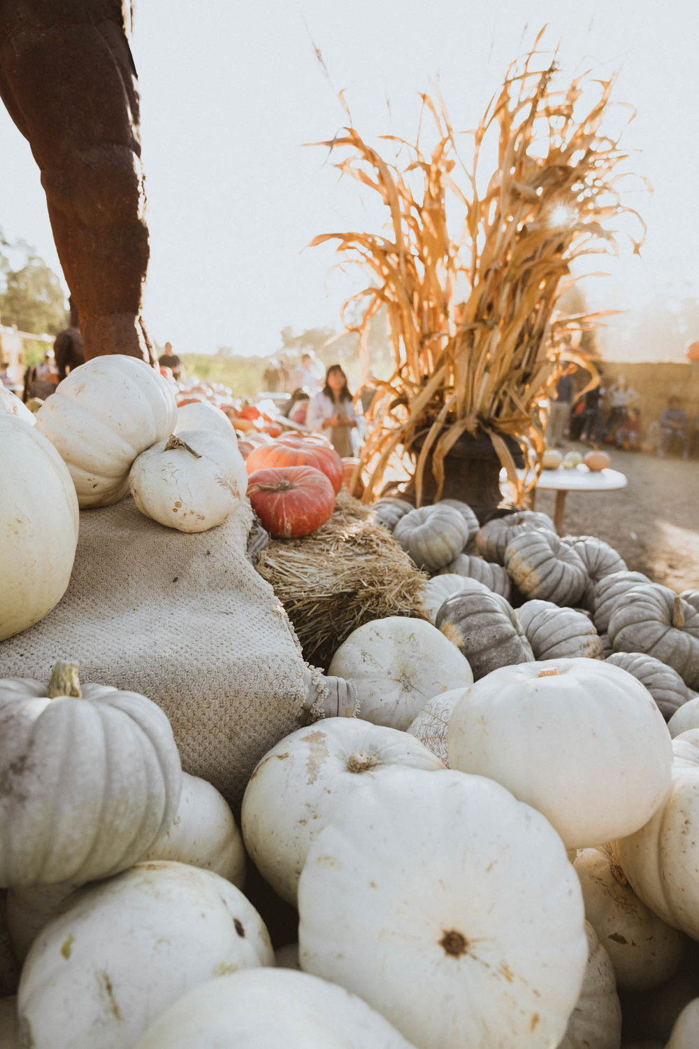 White pumpkins at Arata's Farm