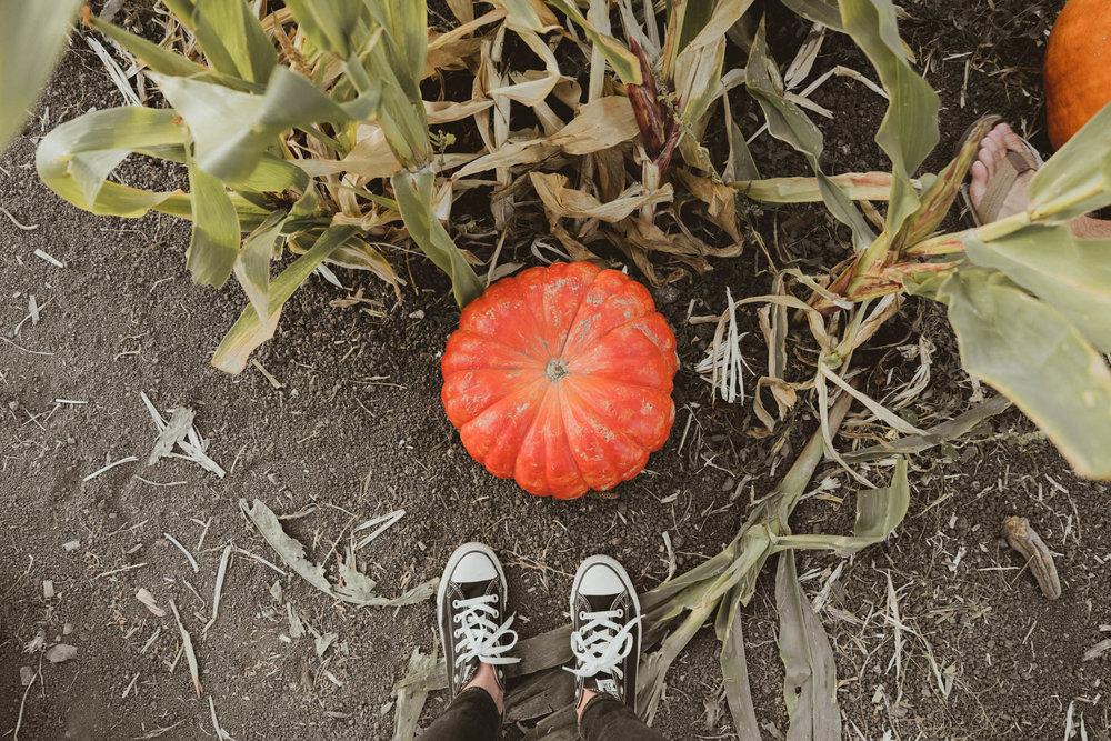 Pumpkin field at Arata's Pumpkin Farm in Half Moon Bay