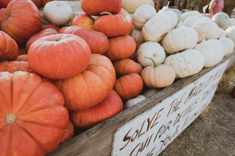 Lots of pumpkins at Arata's Pumpkin Farm