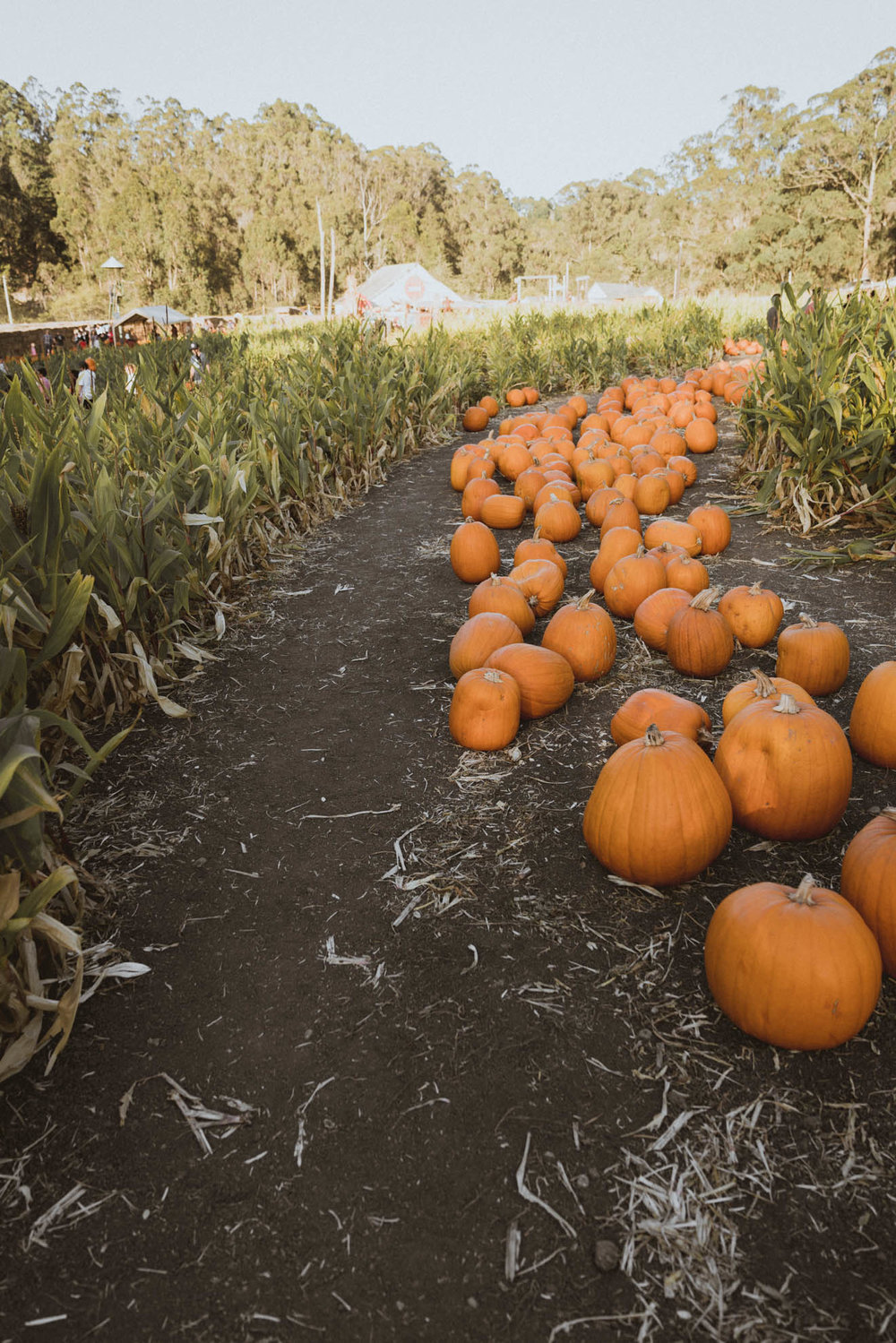 Trail of pumpkins in Half Moon Bay