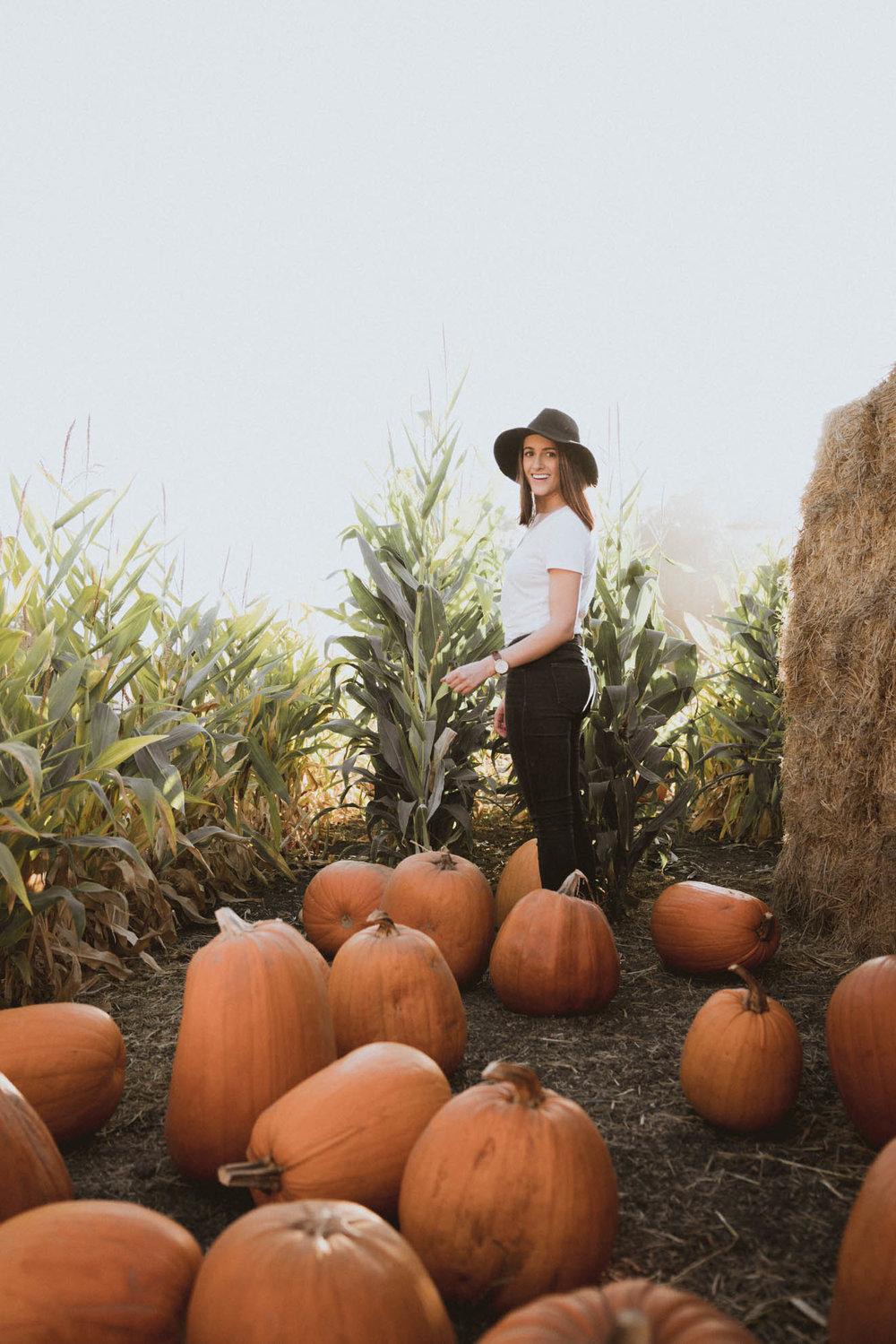 Corn fields at Arata's Pumpkin Farm
