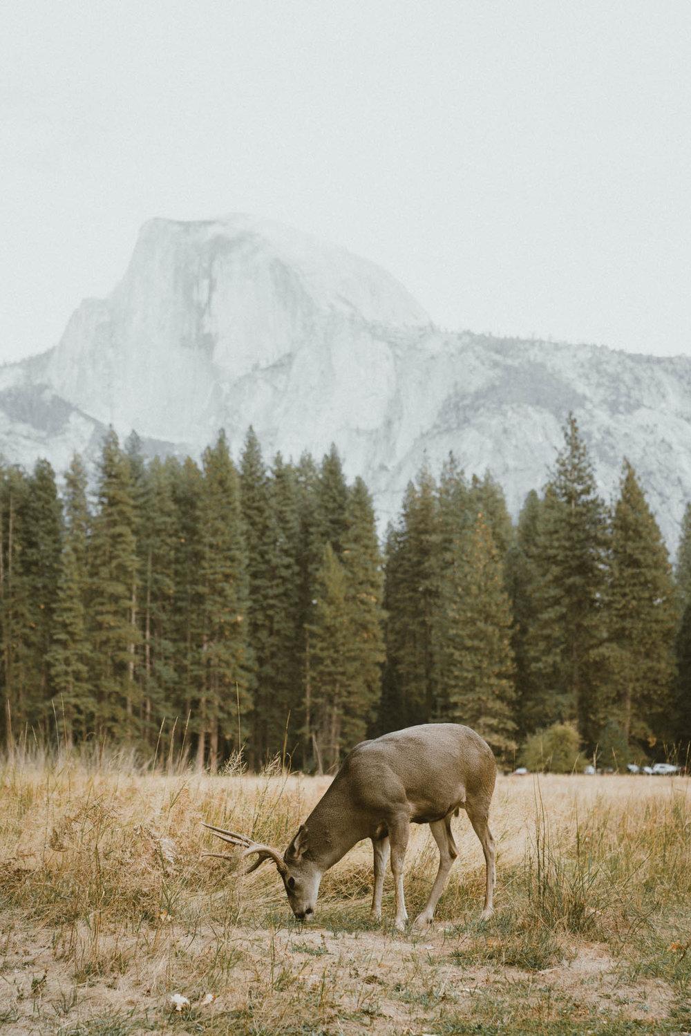 Deer in the meadow at Yosemite National Park