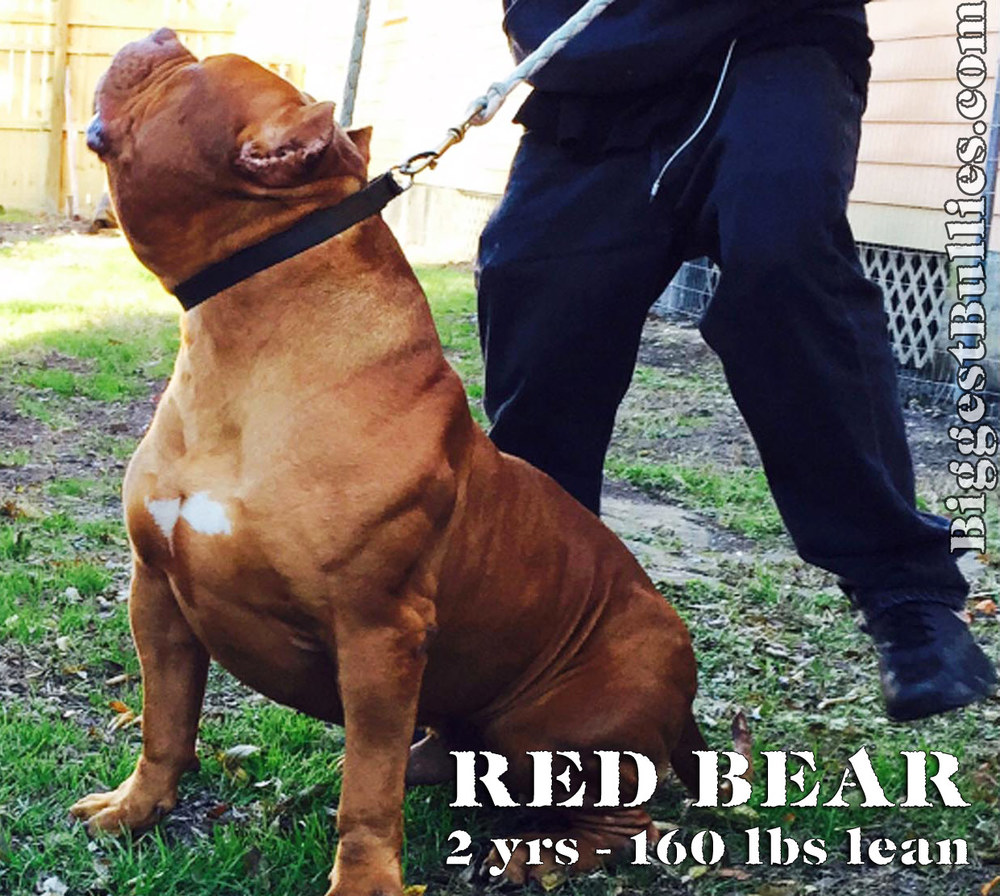 [Image: RED+BEAR+largest+bully+pitbull?format=1000w]