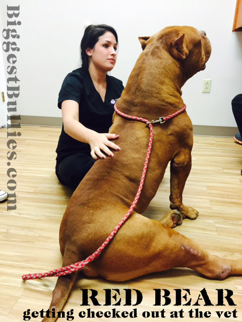 RED BEAR largest bully pitbull
