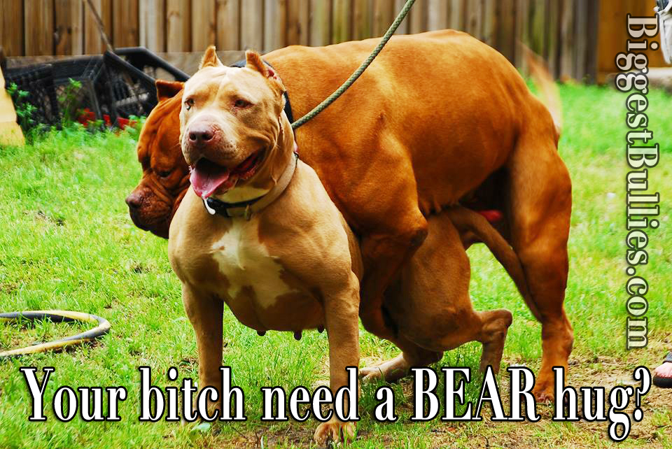 pitbull dogs on steroids