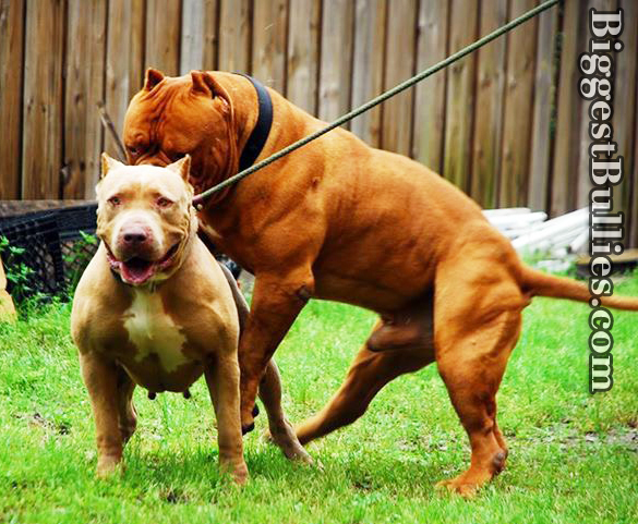 red lion bullies steroid