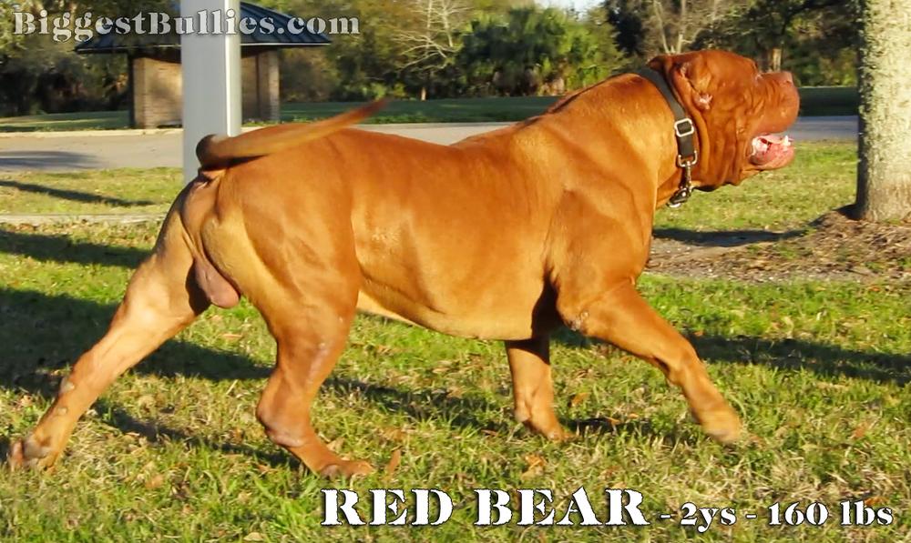 [Image: Red-Bear-strutting-in-grass-2.jpg]