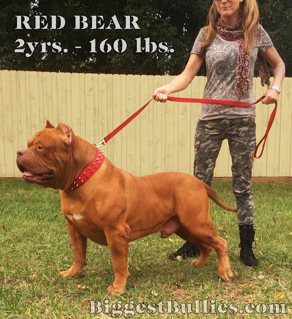 Red-Bear.jpg