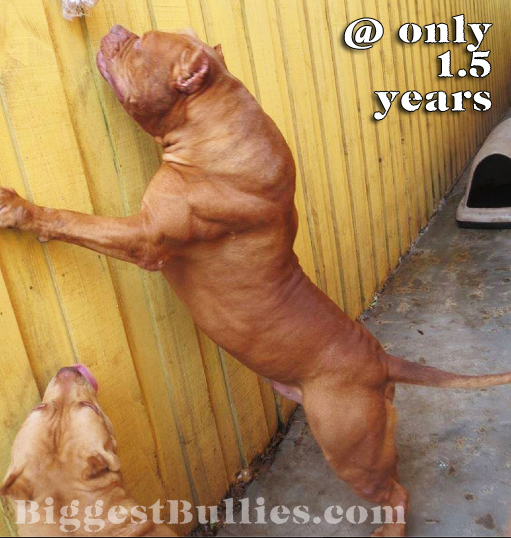 World's-Largest-Pit-bull-Fence-2.jpg