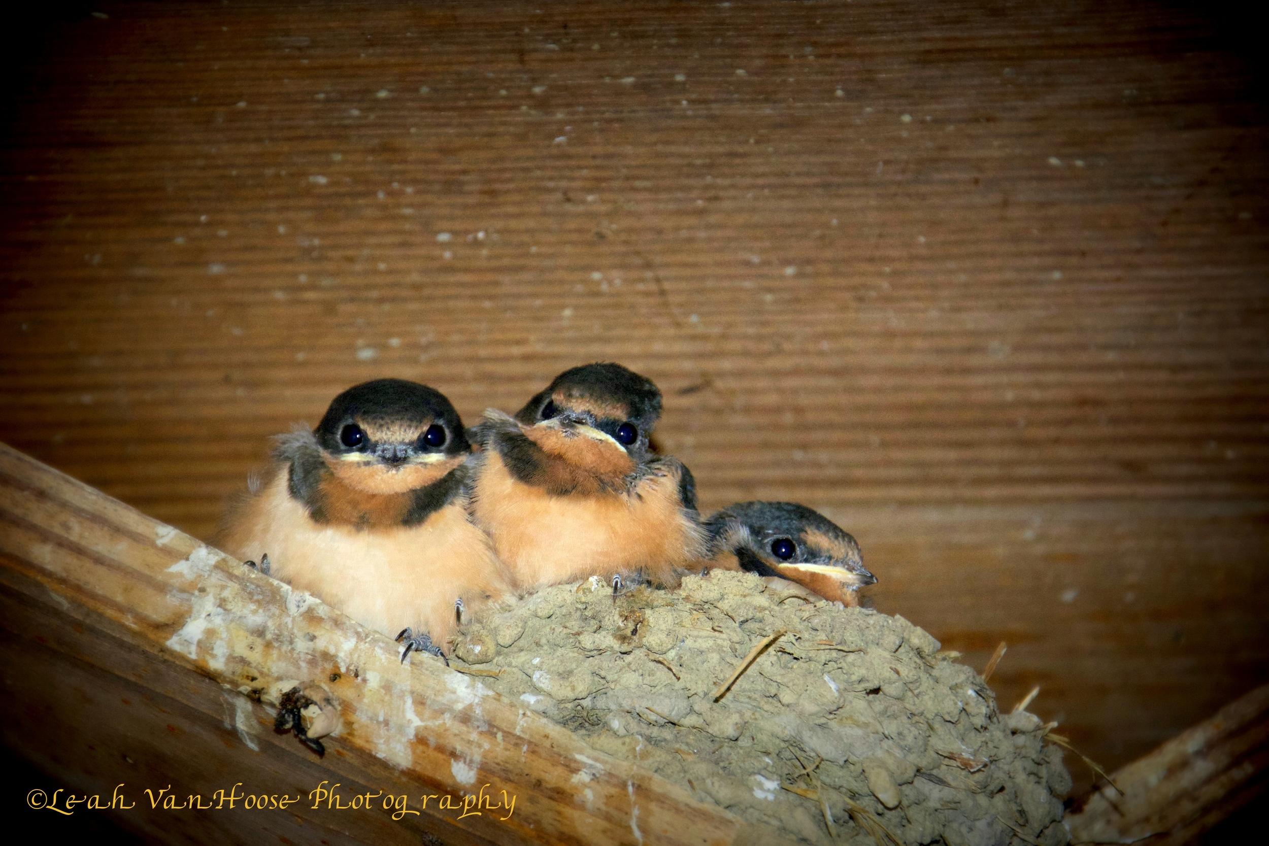 Baby barn swallows ready for flight