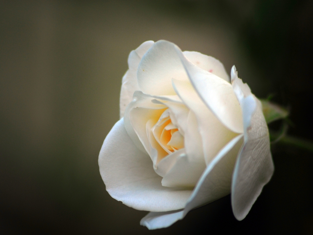 balta roze.jpg