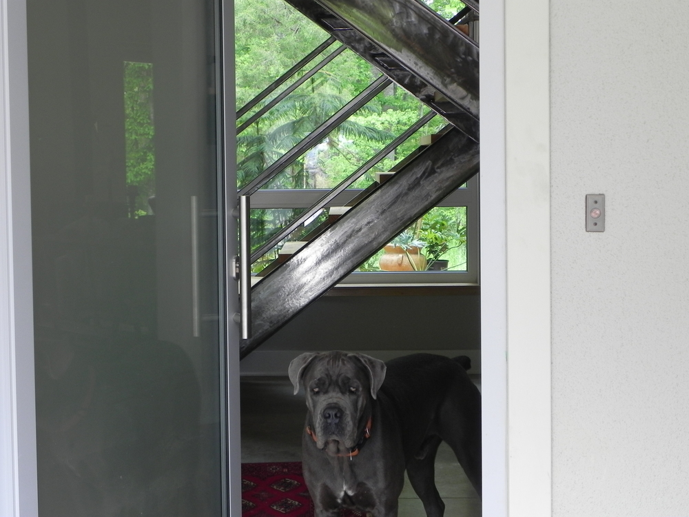 Cane Corso with Courtyard Beyond.JPG