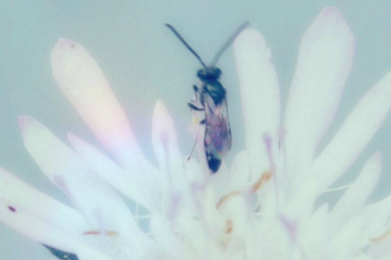 13+moscaaliarcobalenopiccola.jpg