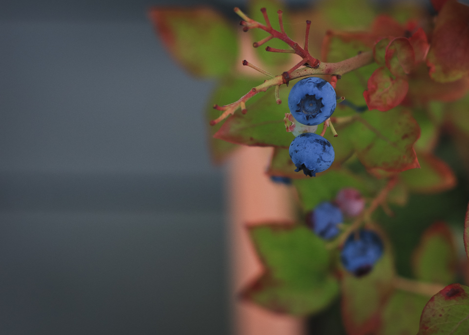 blueberry-1.jpg