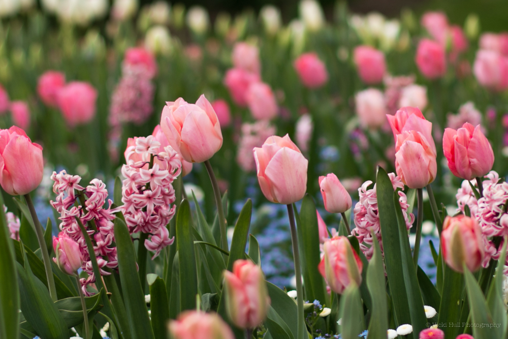 tulips (1 of 1).jpg