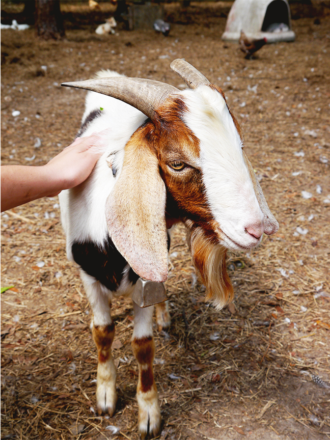 Easter2015_goatres72.jpg