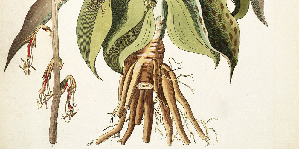 agave-virginica-1786-1793-2-1500x750