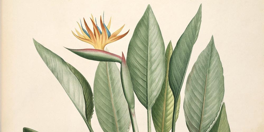 strelitzia-reginae-crane-flower-bird-of-paradise-redoute-paradisaeidae-passeriformes-1500x750.jpg