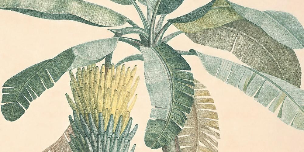 musa-paradisiaca-1-1000x500.jpg