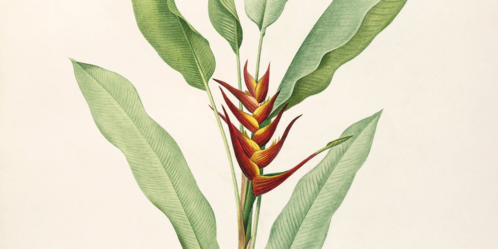heliconia-psittacorum-as-heliconia-humilis-redoute-ca-1805-1816-1500x750-1.jpg