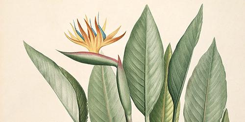 strelitzia-reginae-crane-flower-bird-of-paradise-redoute-paradisaeidae-passeriformes-500x250.jpg