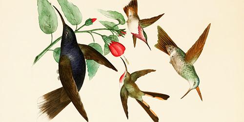 rafael-montes-de-oca-1875-hummingbird-pollinating-500x250