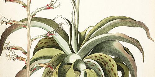 agave-virginica-1786-1793-1-500x250.jpg