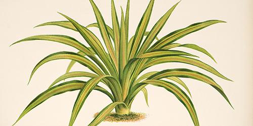 yucca-gloriosa-l-var-recurvifolia-1883-500x250