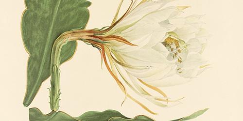 epiphyllum-macropterum-ca-1923-500x250.jpg
