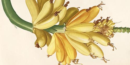 jp-redoute-musa-paradisiaca-bananier-cultive-500x250.jpg