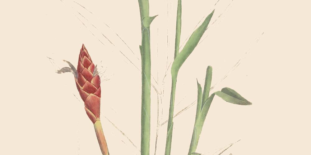 alpinia-purpurata-zingiber-cassumunar-red-ginger-1500x750.jpg