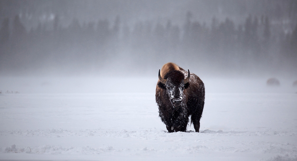 Copyright eBradshaw,com - Yellowstone Bison in Distance.jpg