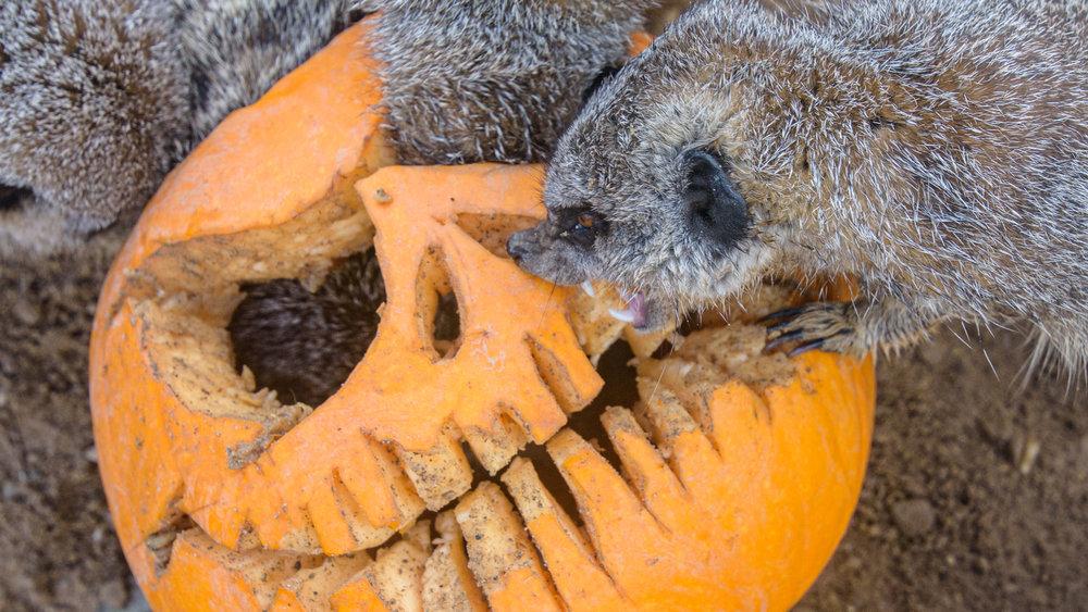 Scruffy-&-Pumpkin_DSC7039.jpg
