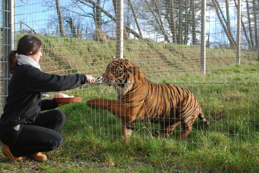 tiger_feeding2