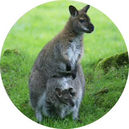 BENNETS WALLABY