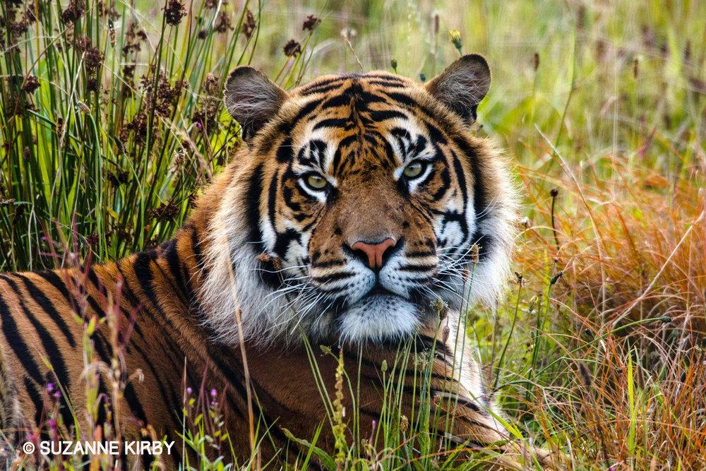 TigerSK.jpg