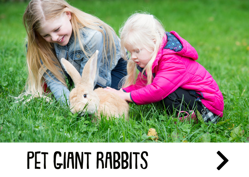 Giant Rabbits