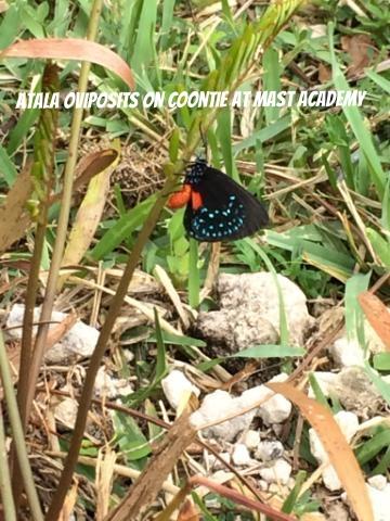 Atala_laying_eggs.jpg
