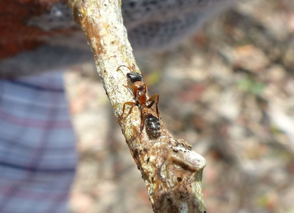 The Graceful Twig Ant ( Pseudomyrmex gracilis ) is also called the Elongate Twig Ant and Mexican Twig Ant.   Link to more information about the elongate twig ant in Florida