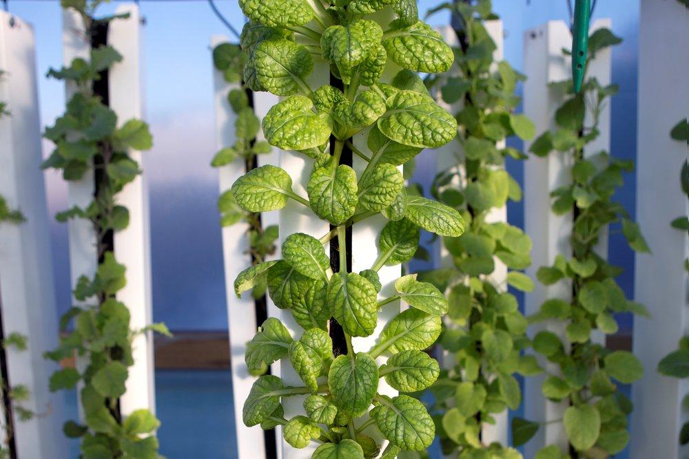 Plantetårn - BIOARKs plantetårne er et lodret system, hvor planterne vokser i jordløse måtter, som er lavet af genanvendte plasticflasker, der er blevet granuleret og smeltet sammen.Lodrette tårne giver mulighed for at placere mange kvadratmeter planter side om side. De mobile dyrkningstårne er oplagte til det grønne køkken eller som en grøn og hyggelig rumdeler til større lokaler. Det er muligt at dyrke mange forskellige former for krydderurter og salater i tårnene.Tårnene skal kun vandes en gang om ugen og dette kan automatiseres.